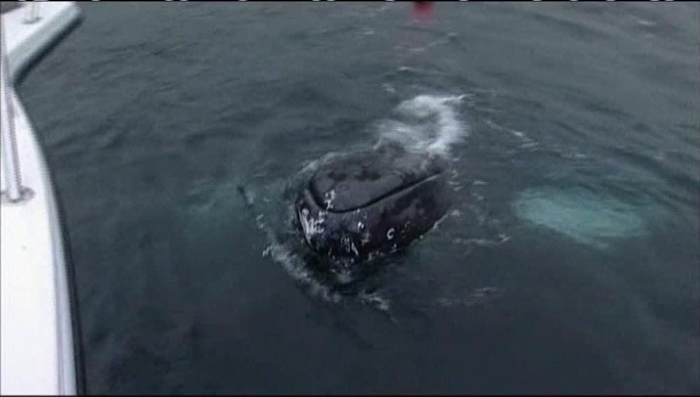 Una ballena se queda atrapada en Escocia