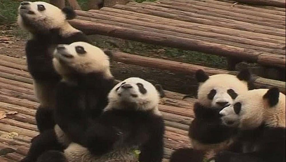 Un casting para cuidar pandas