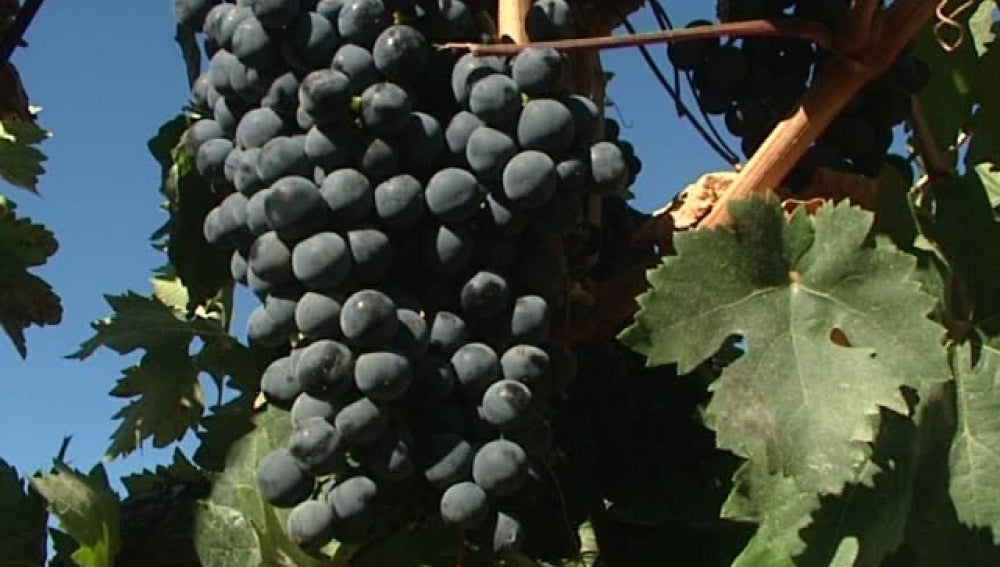 Viñedos de Vega Sicilia en la Ribera del Duero