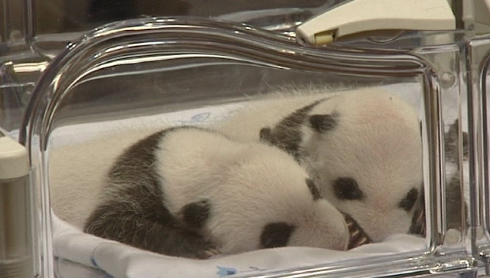 Las dos crías de panda