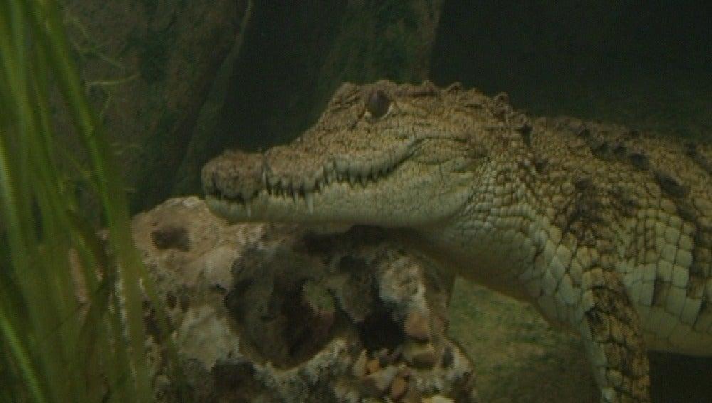 Los nuevos cocodrilos de Faunia