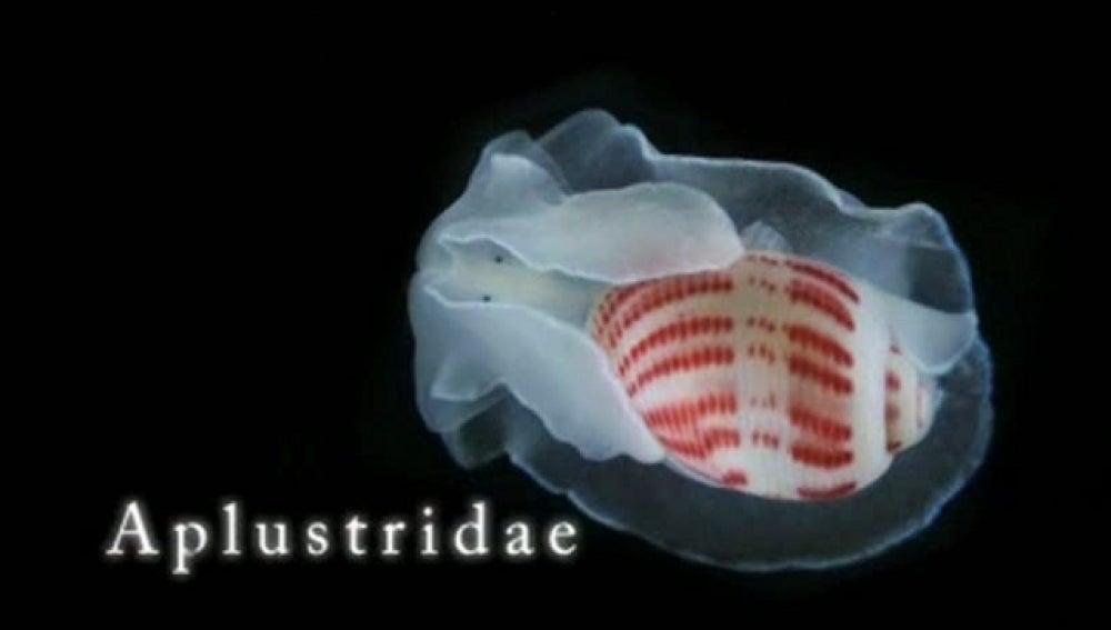 Imagen en detalle de un Aplustridae