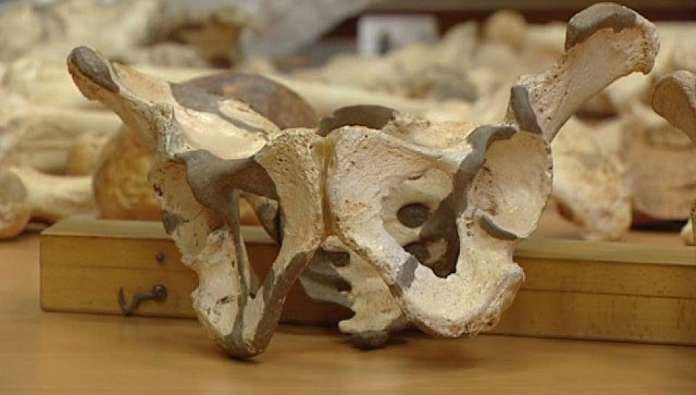 Pelvis de un homínido de Atapuerca