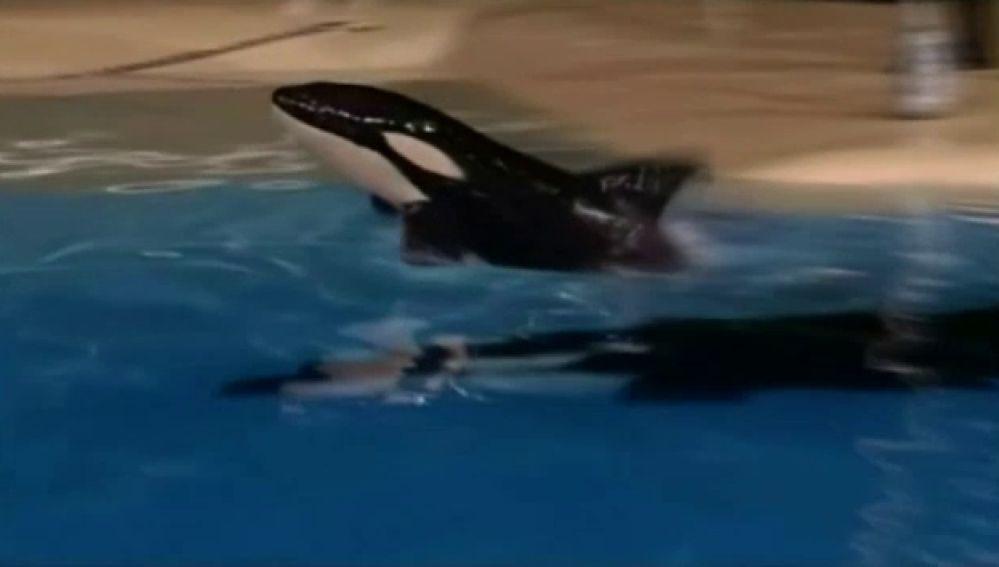 Pesa 150 kilos y es la primera orca nacida en España