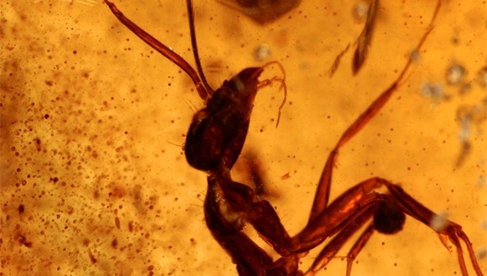 Fósil de hormiga