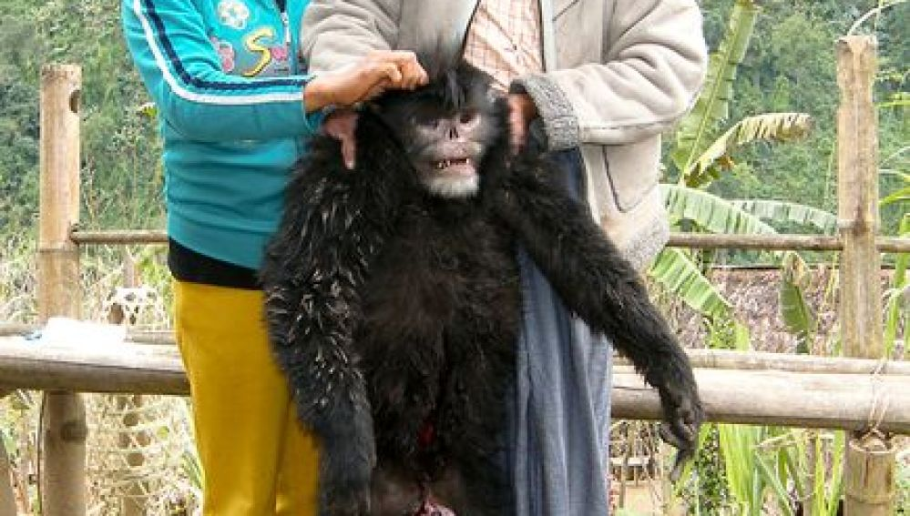 Ejemplar del nuevo mono descubierto