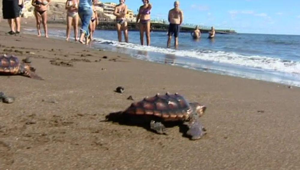 Suelta de tortugas en Melenara