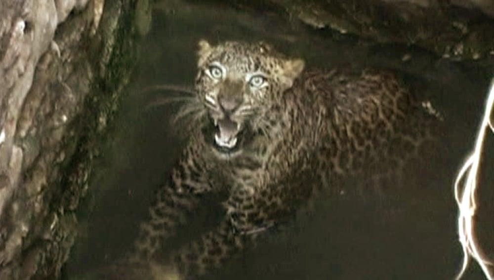 Rescate a un Leopardo