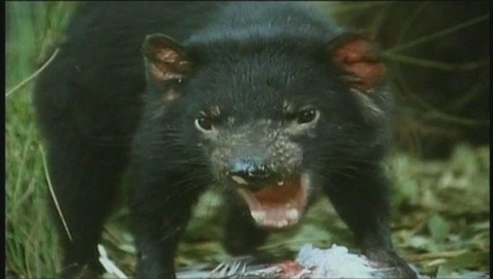 El demonio de Tasmania (2-1- 2011)