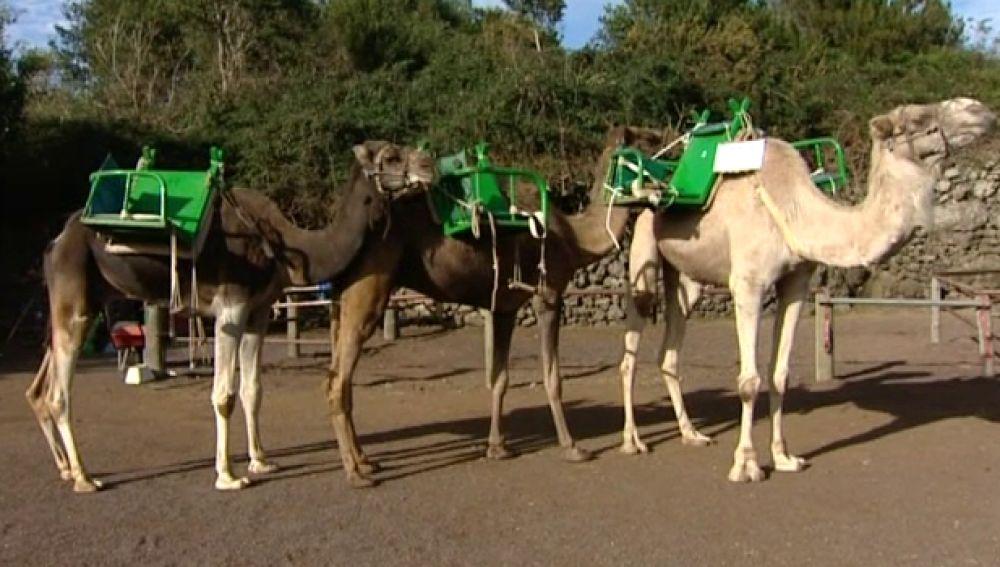 Camellos preparados para acompañar a los Reyes Magos