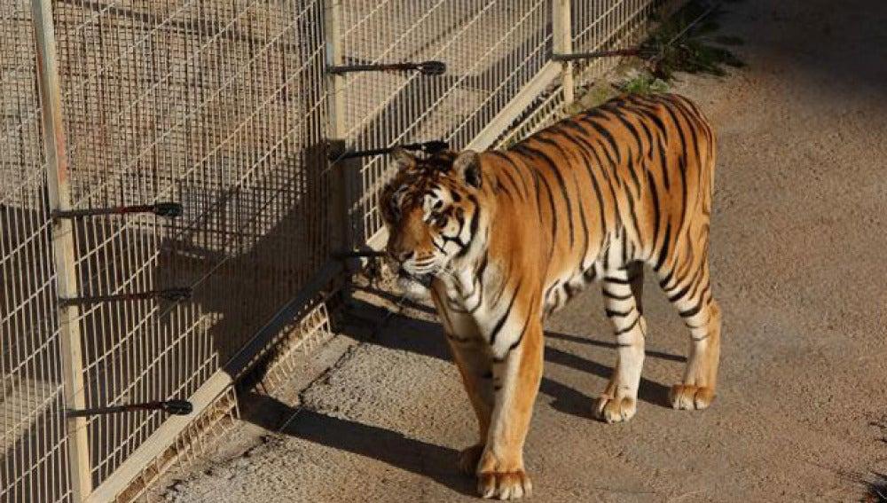 Cabárceno aisla a un tigre por comportamiento violento dentro de la manada