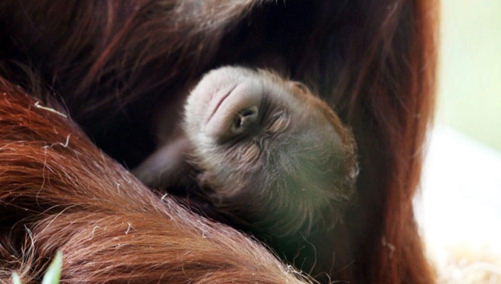 Una cría de orangután