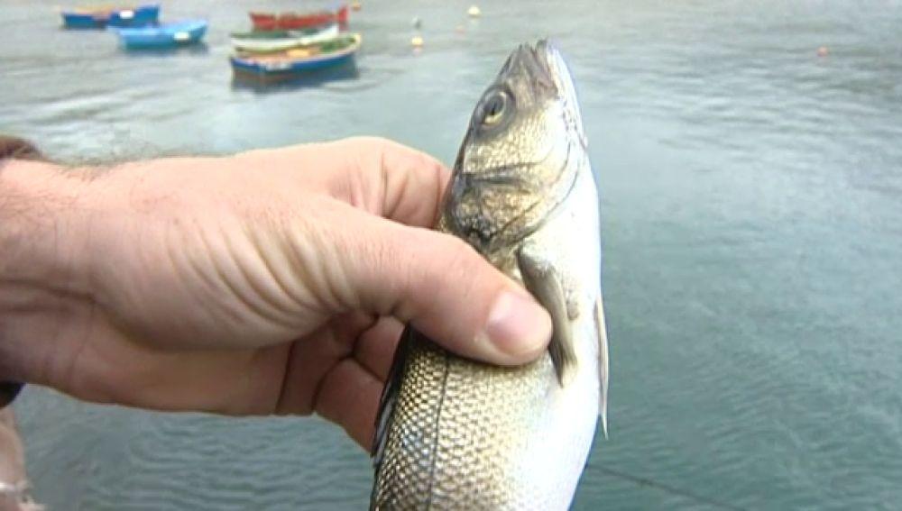 Más de mil peces se escapan de jaulas de acuicultura