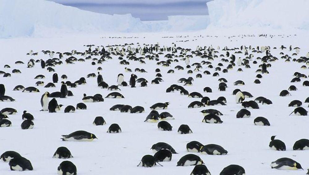 Pingüinos emperador de luto