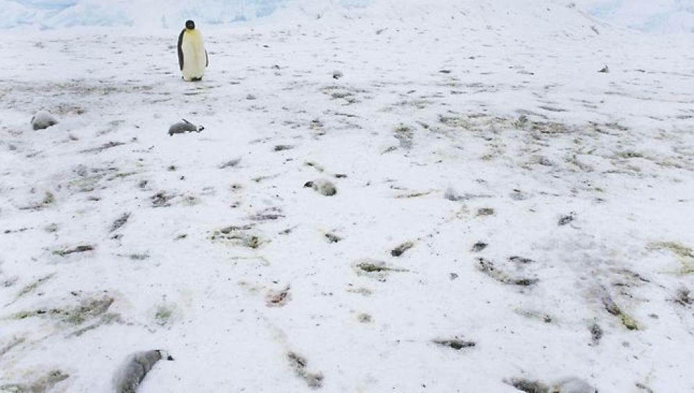 Crías de pingüino muertas