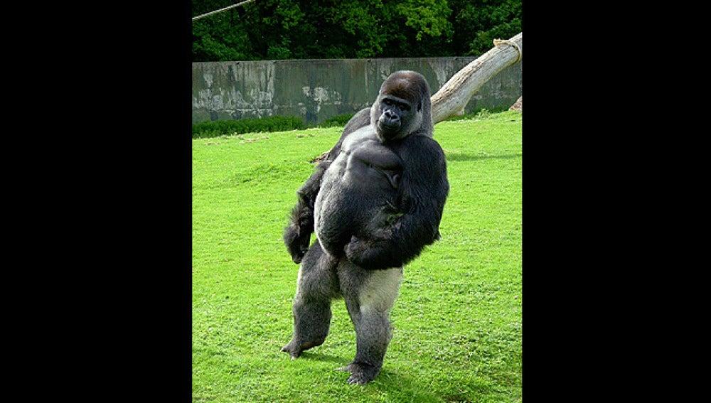 Ambam, el gorila que anda erguido