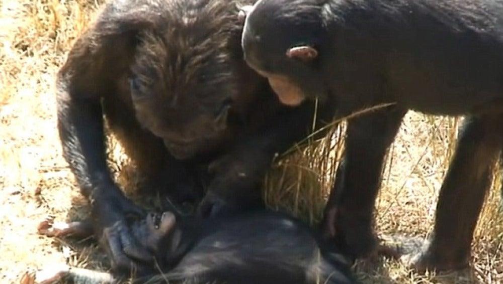 Una chimpancé llora la muerte de su hijo