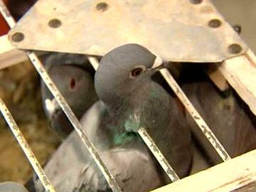 Las palomas mensajeras serán consideras deportistas oficiales