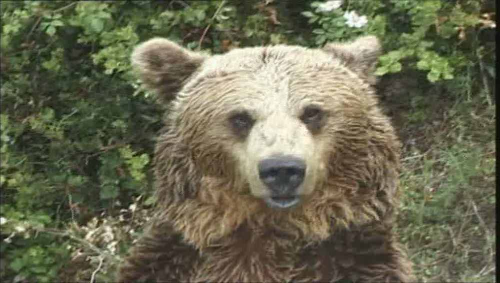 El oso Furaco no consigue aparearse