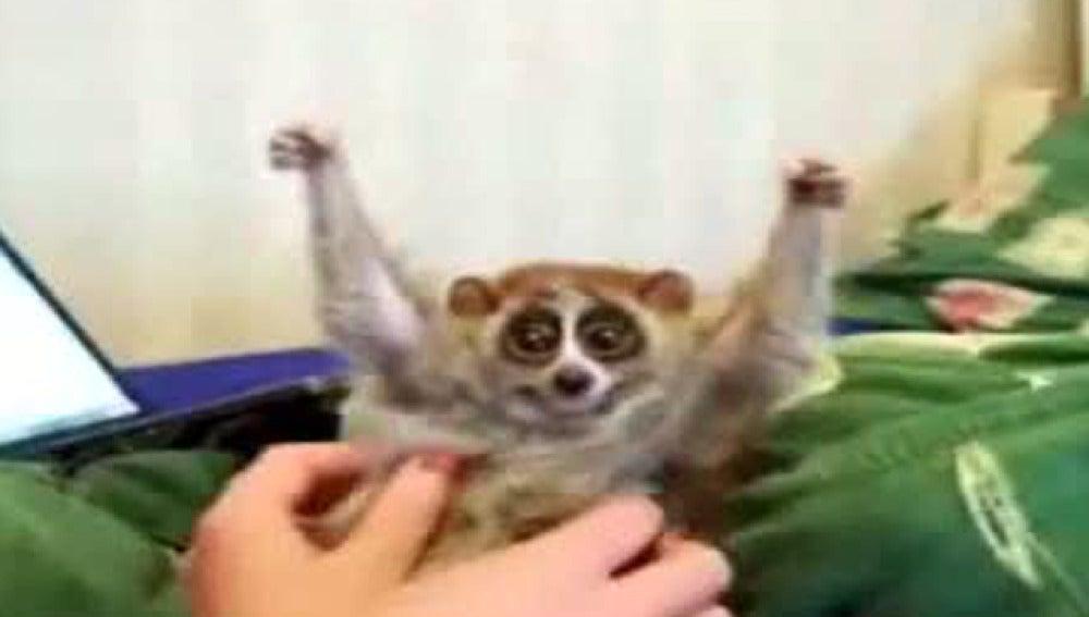 Lemur mimoso