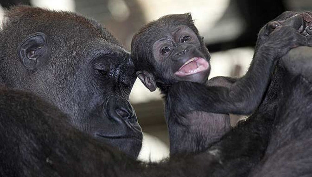 Tiny, la pequeña gorila del zoo de Londres