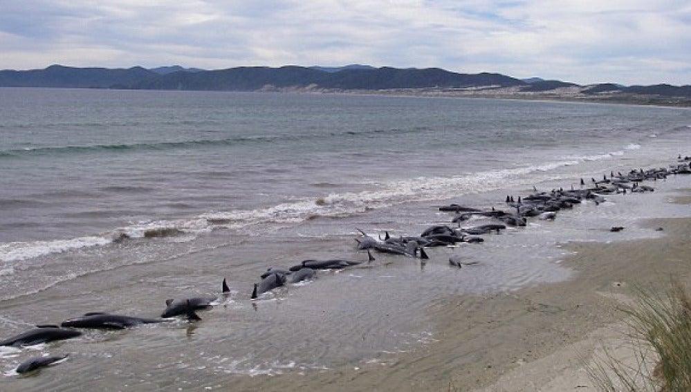 Ballenas varadas en una playa de Nueva Zelanda