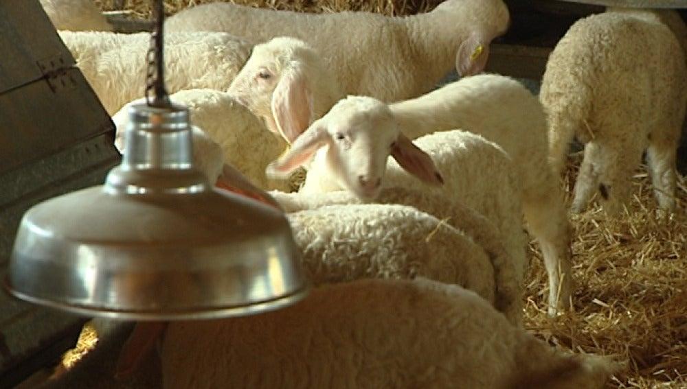 Granja de corderos
