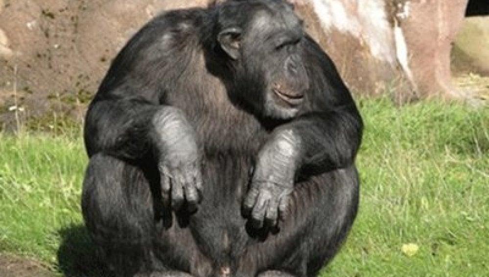 Un chimpancé de un zoo sueco