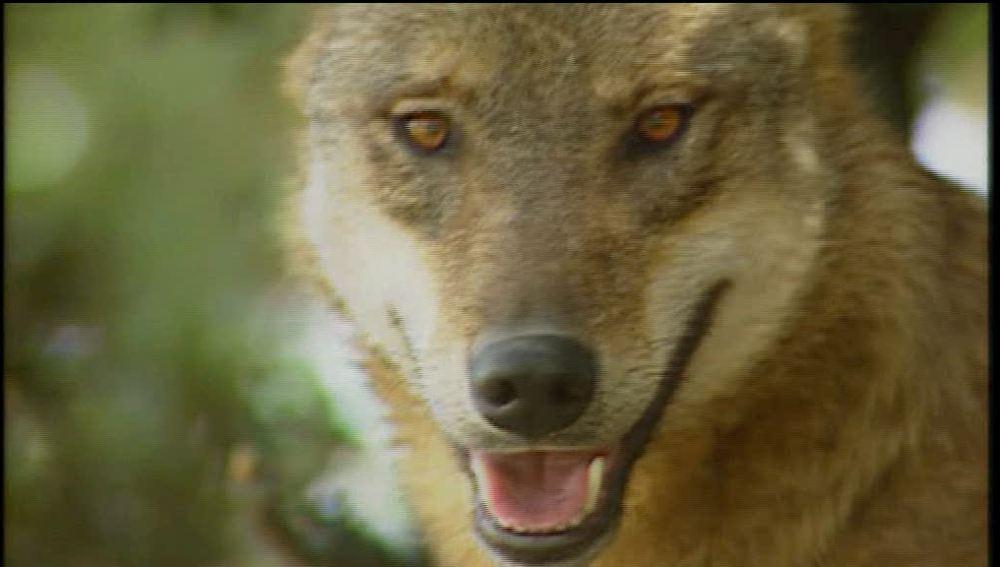 Los lobos devoran a vacas y terneros
