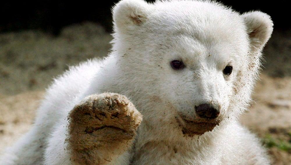 Muere el osito Knut