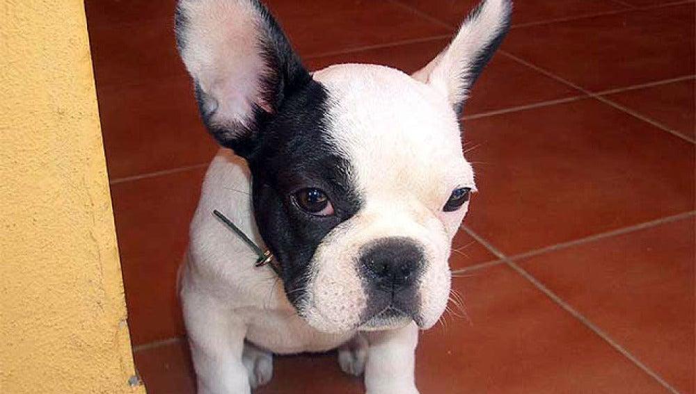 Un ejemplar de bulldog francés