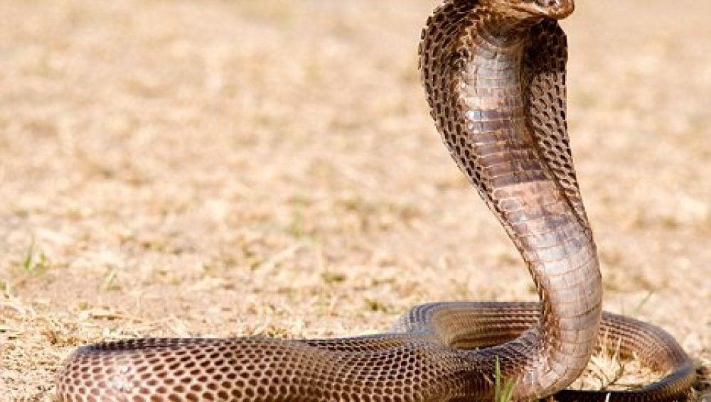 Una cobra egipcia cuyo veneno es mortal