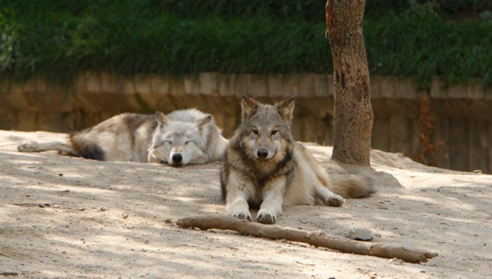Encuentran a las dos lobas que se escaparon del zoo de Barcelona