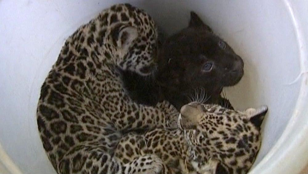Tres jaguares nacidos en Rusia