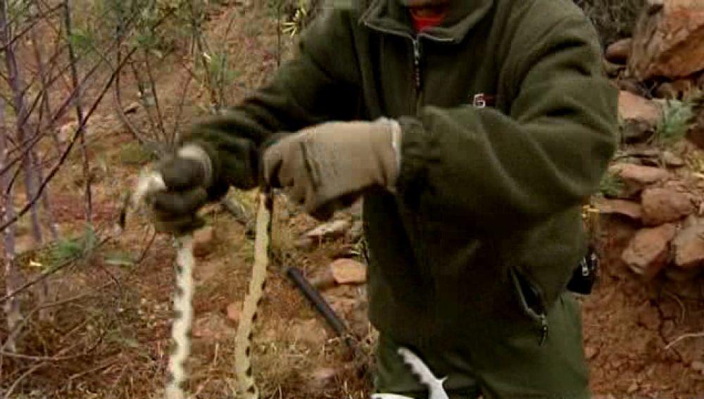 Una plaga de serpientes californianas invade Gran Canaria