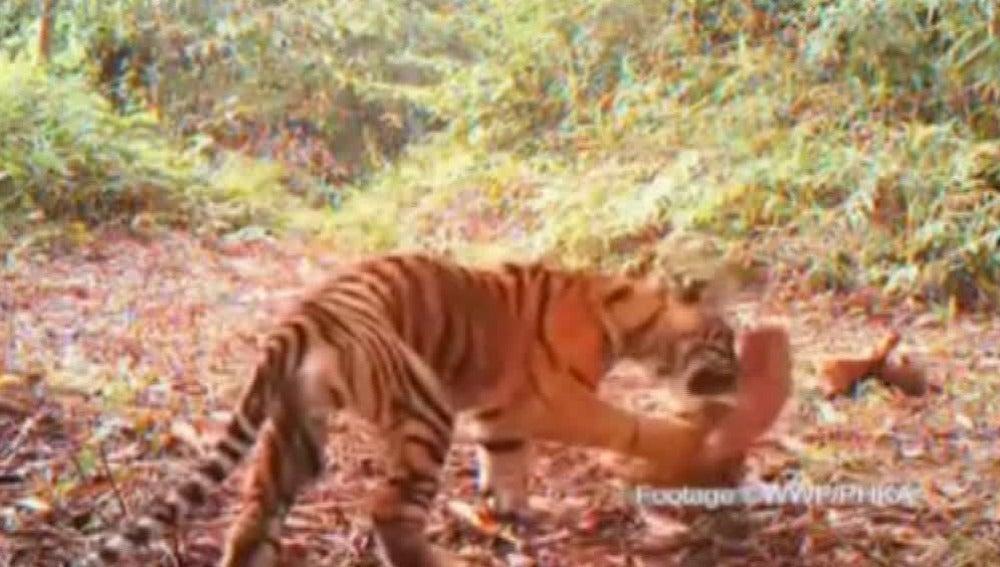 Encuentran un santuario de tigres en Indonesia