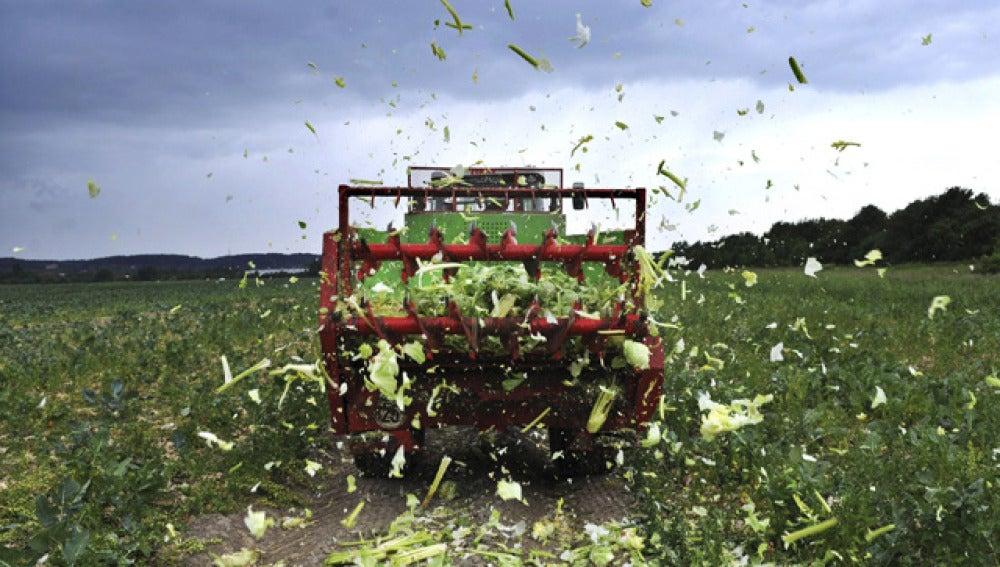 Un agricultor destruye su cultivo en Ronnenberg