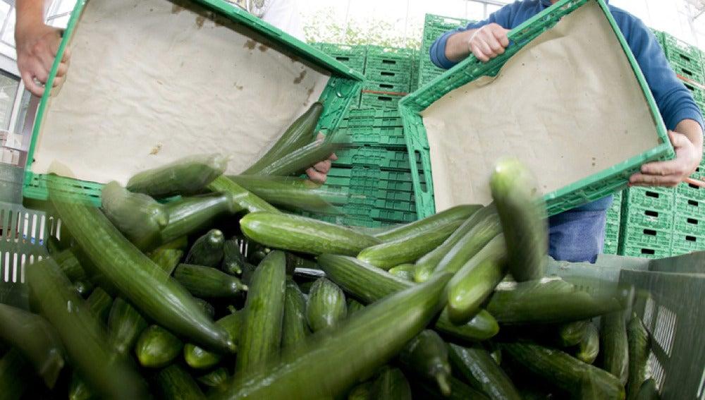 Agricultores tiran pepinos tras la psicosis generada por Alemania.