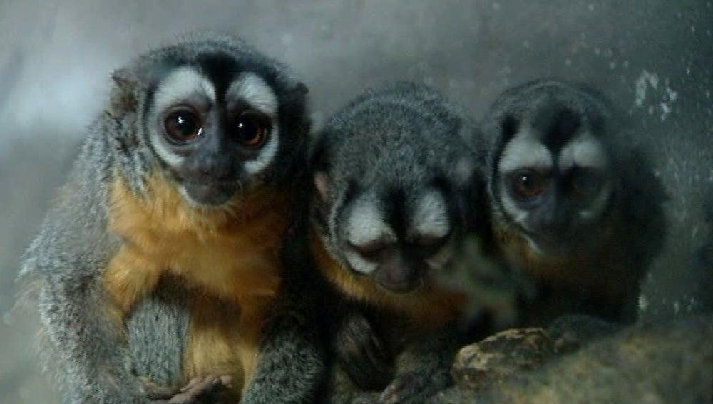 Monos de noche en Faunia