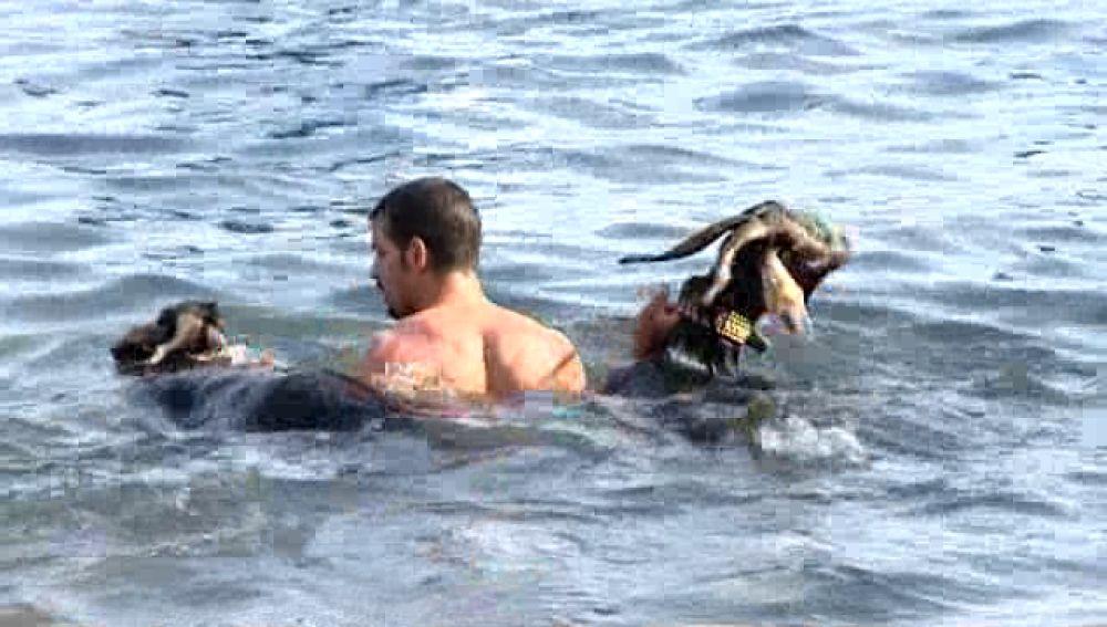 Baño purificador de cabras en el Puerto de la Cruz