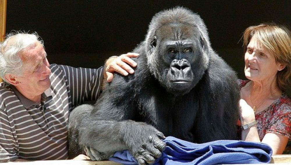 Digit, la gorila que vive con los dueños del zoo