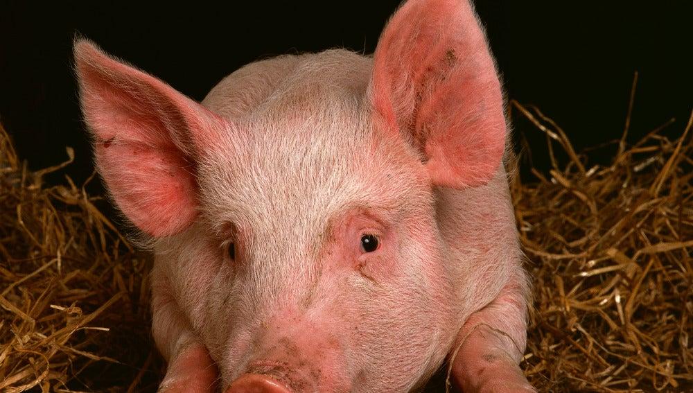 Órganos de cerdo para trasplantes humanos