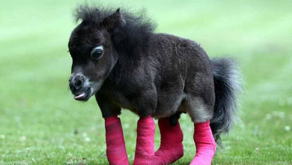 El pony tiene una malformación