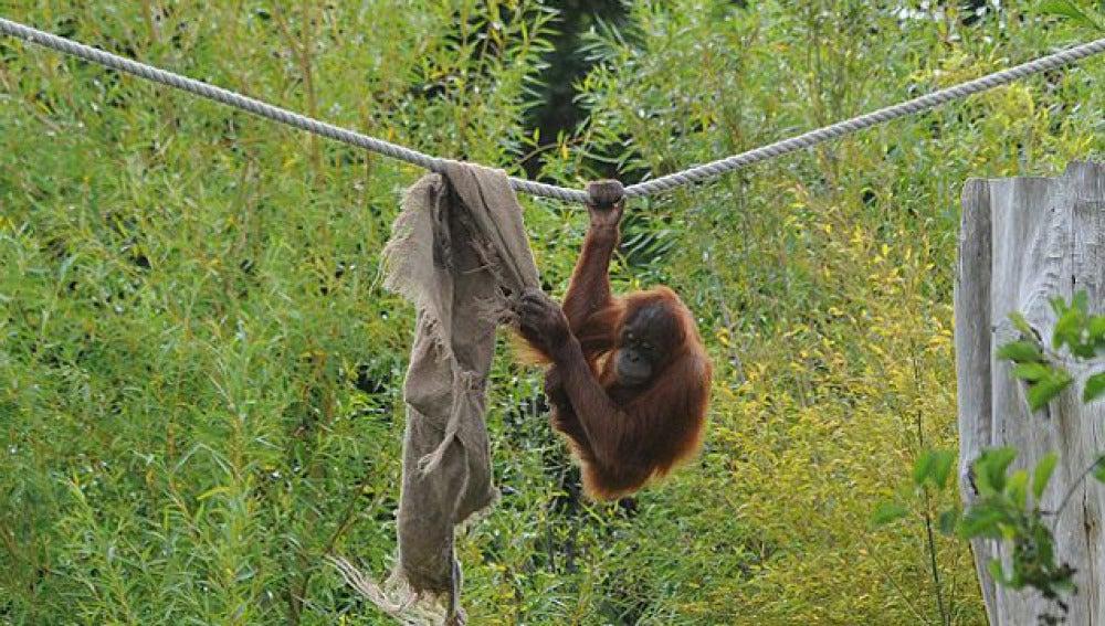 Las peripecias de los orangutanes