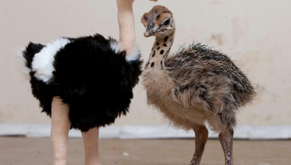 Cría de avestruz y su madre de peluche