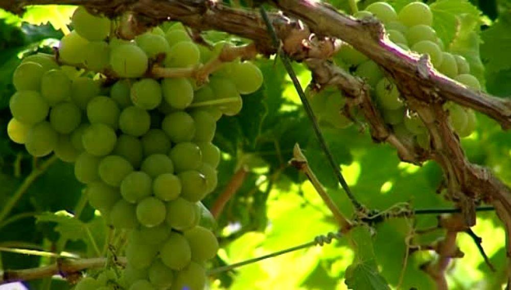 El microclima de Agaete propicia una de las mejores cosechas