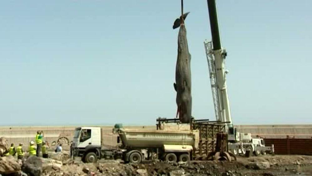 Encuentran el cadáver de un cachalote de más de 2.000 kilos