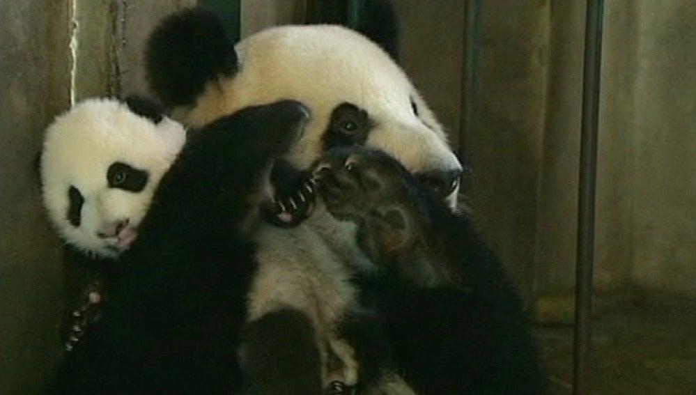 Un oso panda y su cría