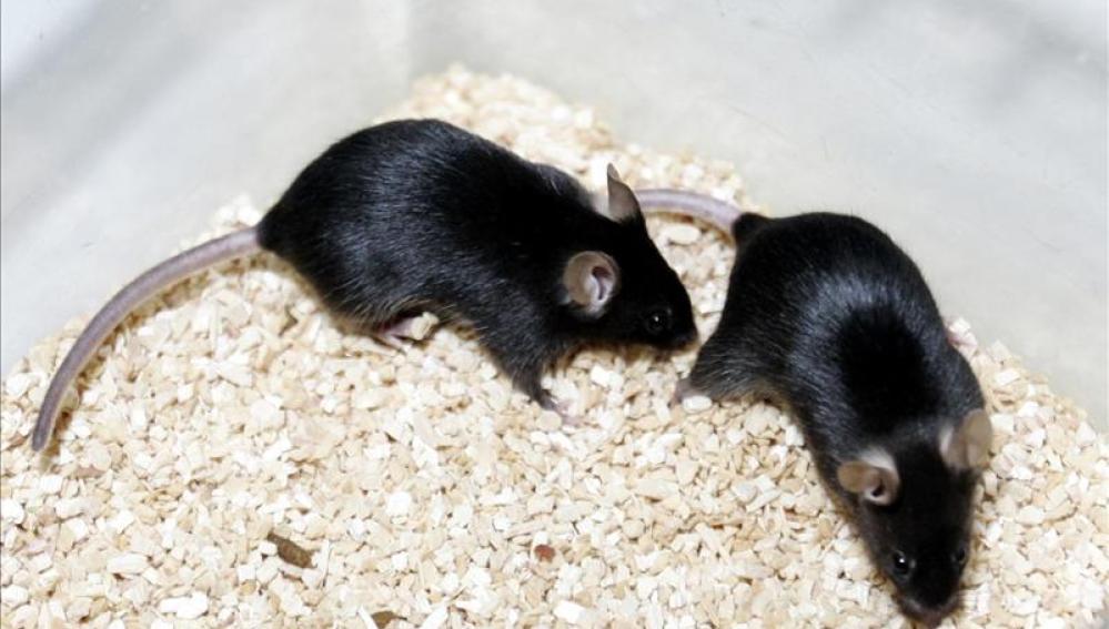Una bacteria intestinal mutante revierte el cáncer de colon en ratones