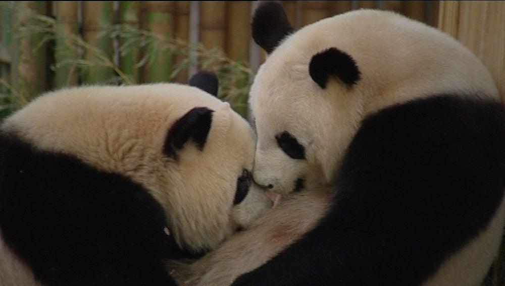 Los pandas del Zoo de Madrid